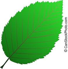 hornbeam,(Carpinus betulus), vector, isolated hornbeam leaf,