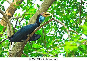 hornbill, grande