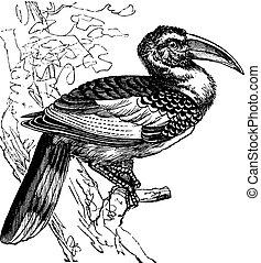 hornbill, oiseau, rouge-facturé, vendange, erythrorhynchus, ...