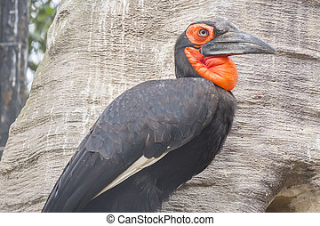 Hornbill southern ground in a tree, Bucorvus leadbeateri