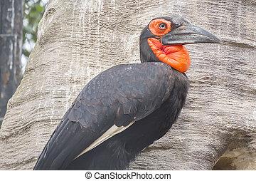 Hornbill southern ground in a tree, Bucorvus leadbeateri