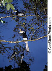 Hornbills Stock Photo - Wild hornbills at Sukau Kinabatangan...