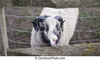 Horned black and white sheep on a muddy ground behind a square knot fence sticks out its snout looking for food