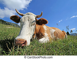 horned cow lying on the grass photographed with target fish eye