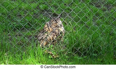 horned eagle owl bubo bubo bird behind the fence in zoo zoological garden. Zoom out. 4K