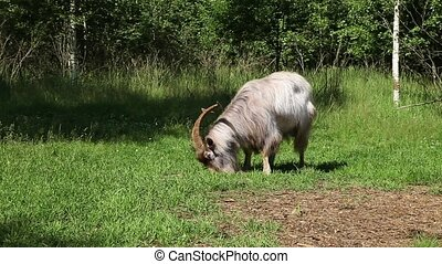 Horned goat grazing in a green lawn in the forest on a sunny...