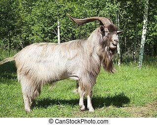 Horned goat outdoors