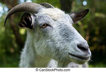 Horned gray goat. - Horned gray goat in the green garden. ...