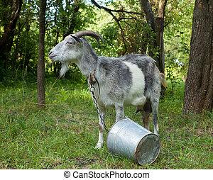 Horned gray goat. - Horned gray goat on a leash in the green...
