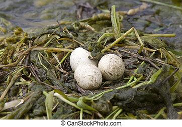 Horned Grebe Eggs