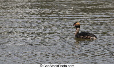 Horned Grebe, Podiceps auritus, swimming