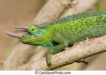 Horned Green Chameleon - Horned green Jackson\\\'s Chameleon...