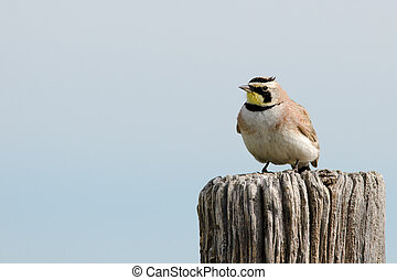 Horned Lark - Horned lark perched on post at Pawnee ...