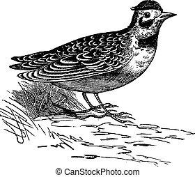 Horned lark or Eremophila alpcstris vintage engraving. Old...