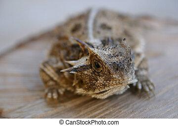 The endangered horned lizard.