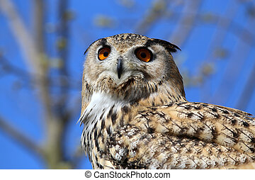 Horned Owl (Bubo virginianus) face in closeup