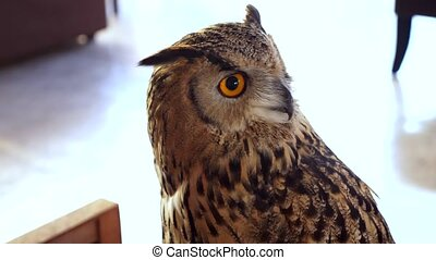 Horned owl close up. eagle owl as a pet.