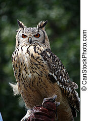 Horned owl - Close up view of rock eagle-owl on a trainer's ...