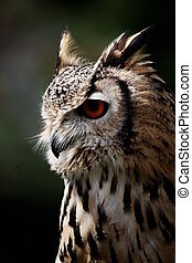 Horned owl - Close up view of rock eagle-owl on profile.