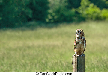 Horned owl sitting on a wooden post