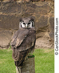 Horned Owl looking very stately.