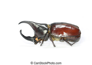 horned rhino beetle on a white background