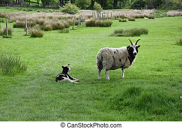 Grass pasture with a horned sheep and lamb.