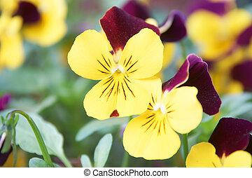 horned violets in a garden