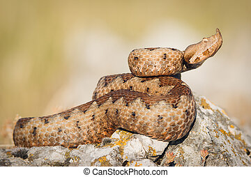 Horned viper in nature on rocks