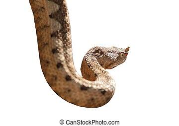 horned viper isolated over white