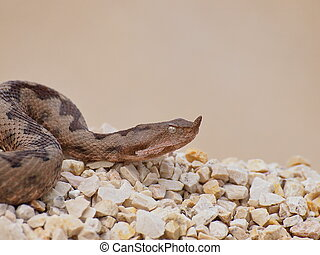 horned viper,  vipera ammodytes