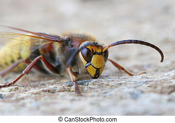 A languid hornet on an frosty morning