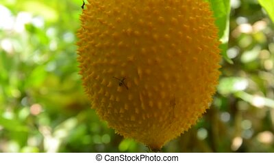 hornet climbing on jack-fruit spiny bitter gourd hanging in...