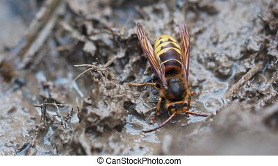 Hornet drinks water from a puddle. Macro footage of dangerous insect at wildlife.