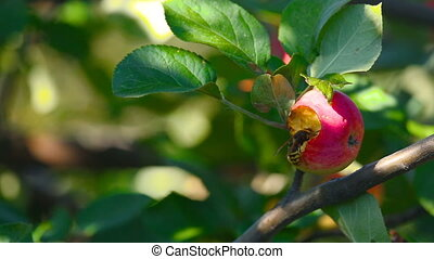 Hornet eats red apple - Hornet eats the flesh of a ripe red...