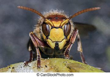 hornet, europeaan