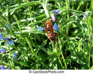 Hornet in the meadow