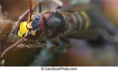 Hornet, Insect, Bug, Wasp, Sting, N