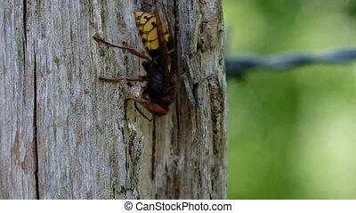 Hornet - nibble wood fibers - Hornet on a wooden post while...