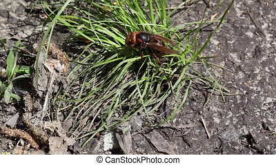 Hornet on the grass. - Hornet sitting on the grass.