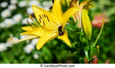 Hornet on yellow lily, close up