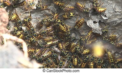 Hornet's nest. - HD 1080 close up shot of wasps in the nest.