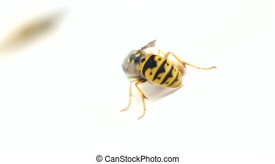 Hornets, wasps. The fight for sweet bread 1 - Two wasps fly ...