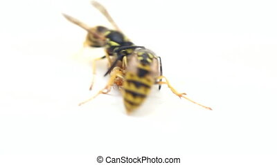 Hornets, wasps. The fight for sweet bread 2 - Two wasps...