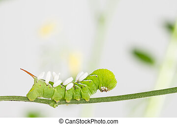 Hornworm with parasite pupae
