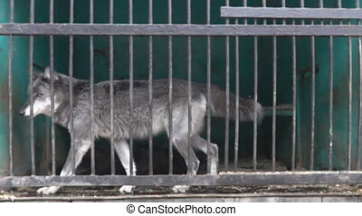 Wolf in a cage in a state of prostration - Horrible ...