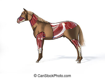Horse Anatomy. Muscular system.
