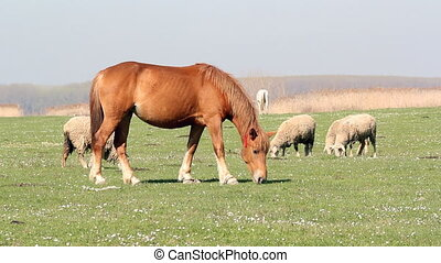 horse and sheep on pasture