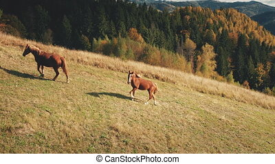 Horses at mountain pasture aerial. Autumn nature landscape. Biodiversity. Funny farm animals at grass valley on mount hill. Fir forest at Carpathian mount ridges, Ukraine, Europe. Cinematic drone shot