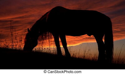 Horse Backlit Sunset - Grazing horse on a background of...